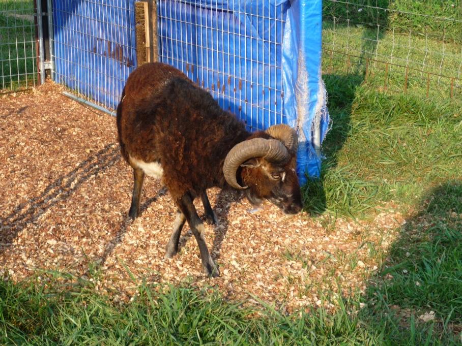 Such beautiful mahogany wool!