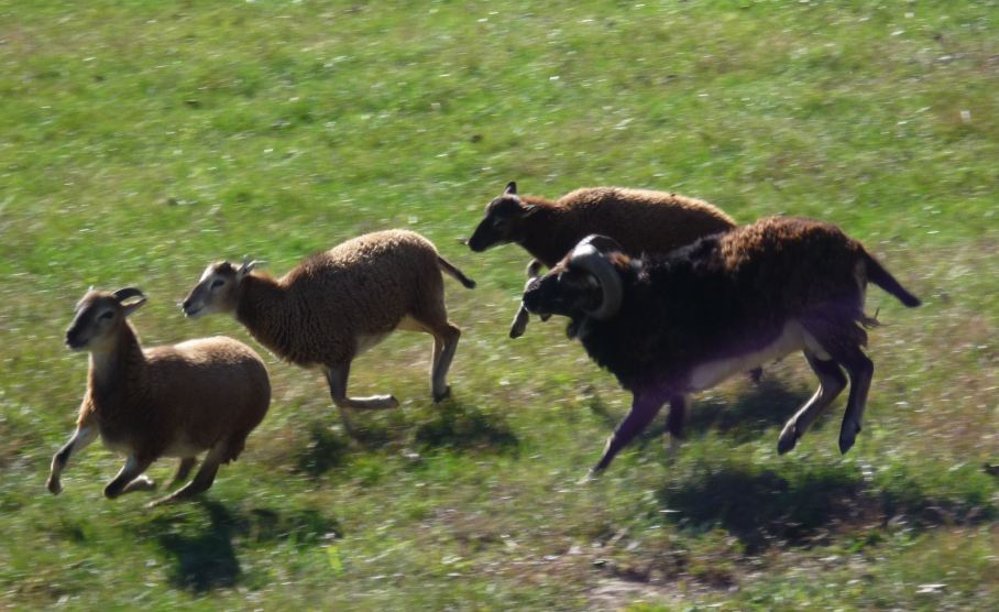 running-sheep